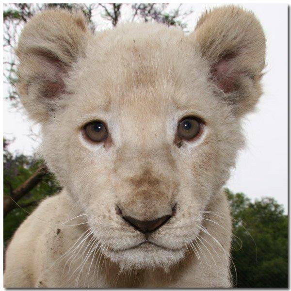 lionblanc.jpg